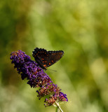Garden Flutterby by tigger3, photography->butterflies gallery