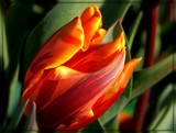 Tulip Study by trixxie17, photography->flowers gallery