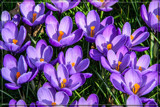 F² Crocuses by corngrowth, photography->flowers gallery
