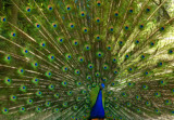 Eyes of a Peacock 2 by tsmyth90, Photography->Birds gallery