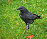Colin by biffobear, photography->birds gallery