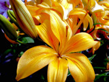 Lillies of the Sun! by marilynjane, Photography->Flowers gallery