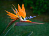 bird of paradise by jeenie11, Photography->Flowers gallery
