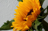 Friday Sun Foofy by braces, photography->flowers gallery