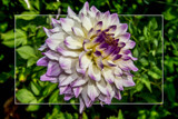 Dahlia Show 75 by corngrowth, photography->flowers gallery