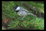 Chickadee by garrettparkinson, photography->birds gallery