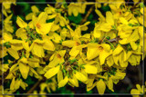 Foofy Friday Forsythia by corngrowth, photography->flowers gallery