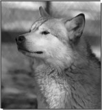A Resident of Black Pine Sanctuary_The wolf by tigger3, contests->b/w challenge gallery