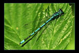 blue needle by JQ, Photography->Insects/Spiders gallery
