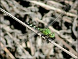 lil green meanie by madmaven, photography->insects/spiders gallery