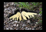 A Winged Beauty by tigger3, Photography->Butterflies gallery