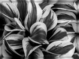 Autumn Frost Hosta B&W by trixxie17, contests->b/w challenge gallery