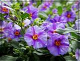 Solanum by trixxie17, photography->flowers gallery