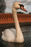 swan by JQ, Photography->Birds gallery