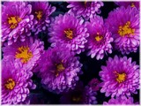 My Last Mums by trixxie17, photography->flowers gallery