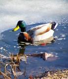Mallard On Ice by kidder, Photography->Birds gallery