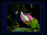 Midnight Magnolia 2 by LynEve, Photography->Nature gallery