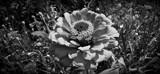 Lady Z in B&W by Roseman_Stan, photography->flowers gallery
