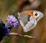 Meadow Brown by biffobear, photography->butterflies gallery