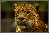 panther by wimgroen, Photography->Animals gallery