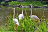 Flamingos Three by Ramad, photography->birds gallery