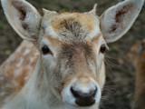 Bambi by Paul_Gerritsen, Photography->Animals gallery