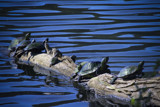 Turtles at Radnor Lake, TN by charlescurtis, Photography->Reptiles/amphibians gallery
