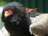 Eagle by Foxfire66, Photography->Birds gallery