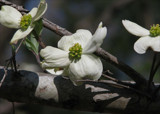 Dogwood by allisontaylor, Photography->Flowers gallery