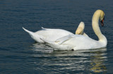Anniversary Swans by braces, Photography->Birds gallery