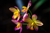 Ground Orchids by Pistos, photography->flowers gallery