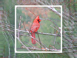Christmas Cardinal by Hottrockin, Contests->Oxymorons gallery