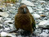 Kea - Clown of The Mountains by LynEve, Photography->Birds gallery