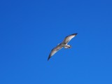 Gull by ccmerino, photography->birds gallery
