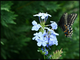 Happy Birthday to Smoosh  / Plumbago's pretty visitor by madmaven, Photography->Butterflies gallery