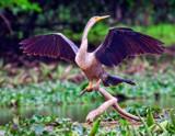 Anhinga by jeenie11, photography->birds gallery