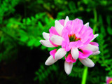 Pink & White Clover by tburn101, Photography->Flowers gallery