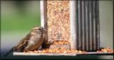 A Happy Sparrow by tigger3, photography->birds gallery