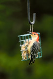 The Red Bellied Woodpecker by tigger3, photography->birds gallery