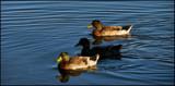 Odd Fellows by allisontaylor, Photography->Birds gallery