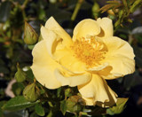 Lemony Sunshine by trixxie17, photography->flowers gallery