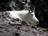 Mountain Goat In the Rockies by Avenged, Photography->Animals gallery