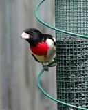 Backyard Birdie by Hottrockin, Photography->Birds gallery