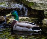 Mallard by Pistos, photography->birds gallery