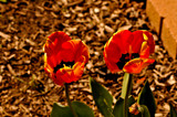3D Striped Tulips by vangoughs, photography->flowers gallery