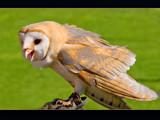 raptorial bird # 1 by kodo34, Photography->Birds gallery