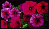 Petunias. by LynEve, photography->flowers gallery