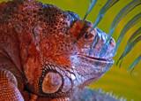Iguana by biffobear, photography->reptiles/amphibians gallery