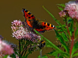 Butterflies and Bees by biffobear, photography->butterflies gallery