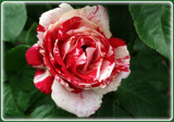 Kandi Kane by trixxie17, photography->flowers gallery